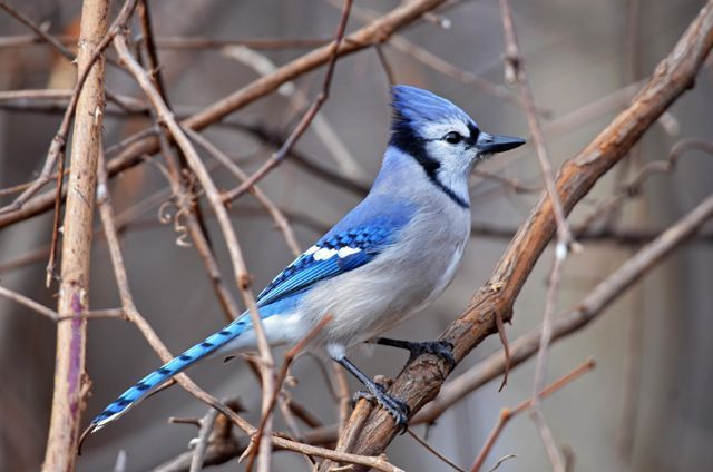 Birdnote q & a: el linaje de bocazas del jay azul
