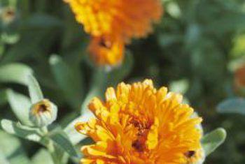 Flores que son buenas para plantar entre vegetales