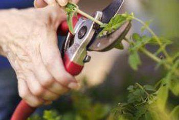 Cómo plantar esquejes vivos de arbustos