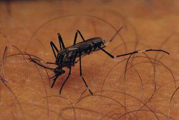 Plantas de mosquito shoo geranio