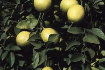 ¿Qué insectos causan que las hojas se encrespen en un limonero?
