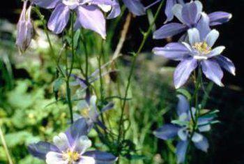 Información sobre la flor azul columbine