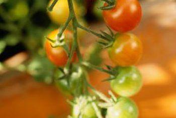 Remedios para una planta de tomate con moho gris