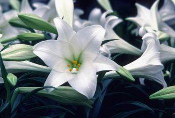 Cultivo de flores de lirio