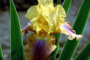 Datos divertidos sobre el iris barbudo