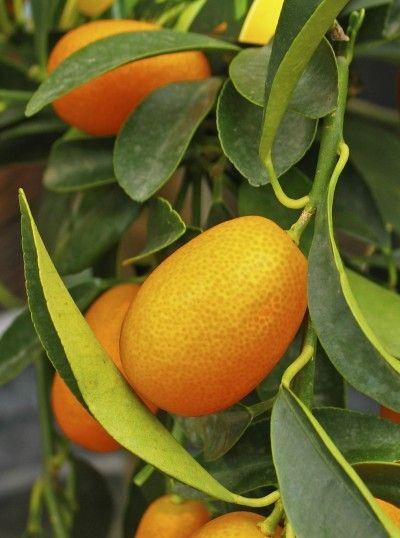 Escogiendo kumquats - consejos para cosechar un árbol de kumquat