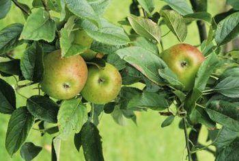 Manzanos de la herencia antigua