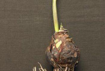 Cómo plantar bulbos con la cubierta del suelo