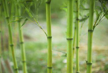Qué alimentar con bambú